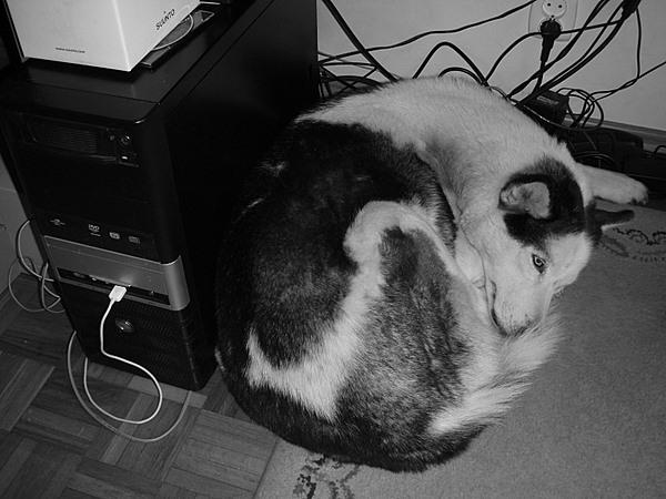pies przytulony do komputera pod biurkiem